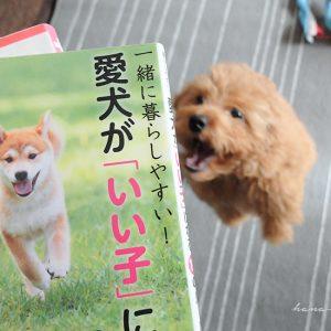 愛犬が「いい子」になる10のルール。トイプードル6ヶ月やんちゃな子犬のしつけ