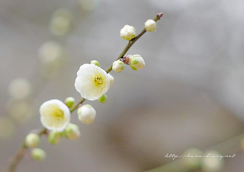 京都・北野天満宮の梅が見頃