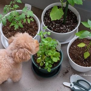 趣味と実益を兼ねて、ベランダ家庭菜園