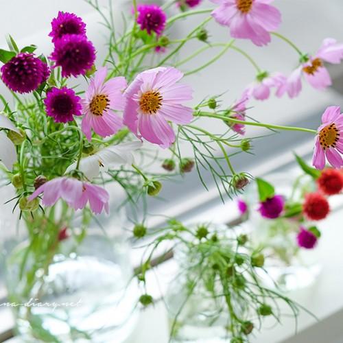 秋の花コスモスを飾る